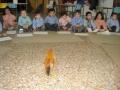 2009 gallina  infantil i primaria